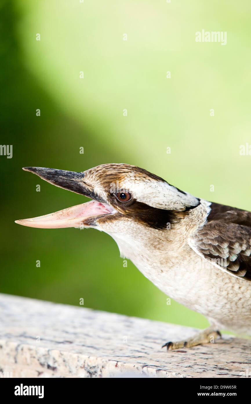 Australian native kookaburra bird. - Stock Image