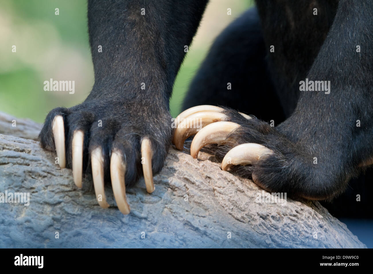 bear claws - Stock Image