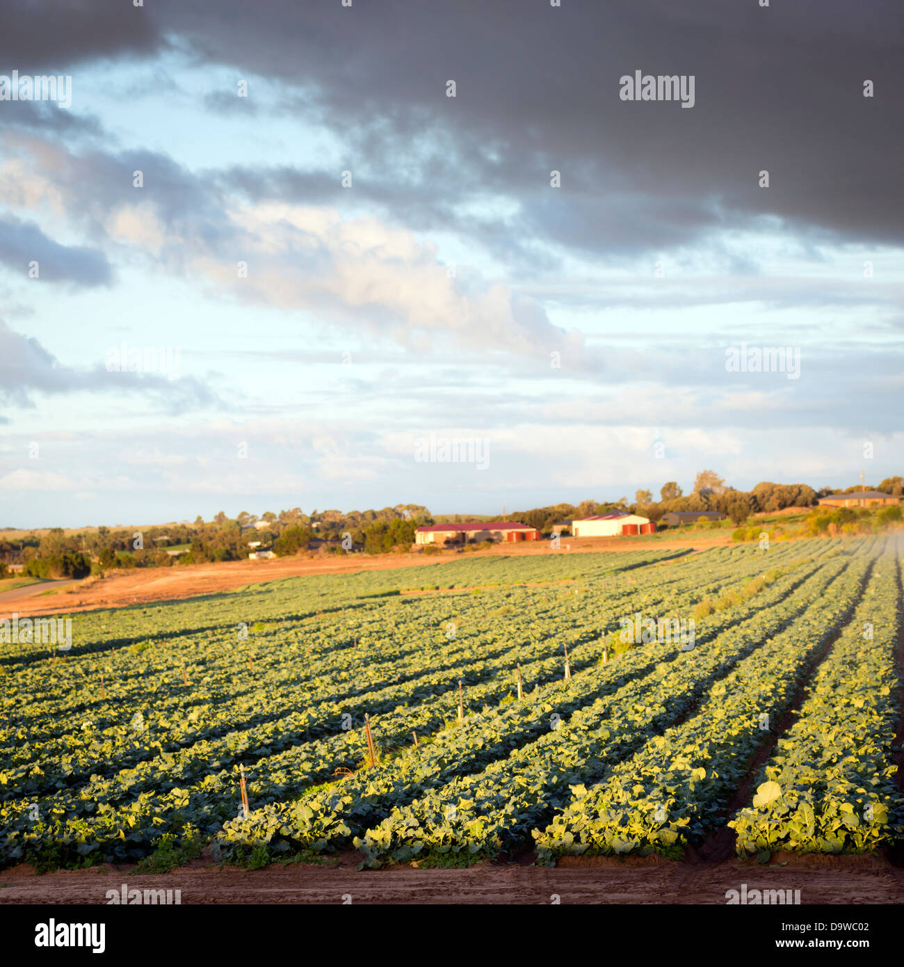 Fresh green lettuce growing in rows in a lettuce farm Stock Photo