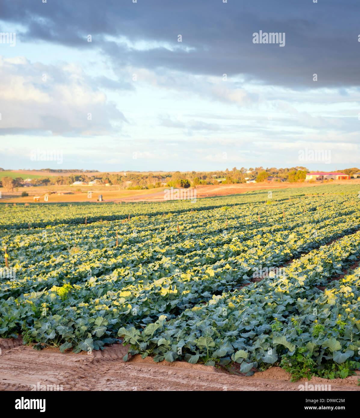 Fresh green lettuce growing in rows in a lettuce farm - Stock Image