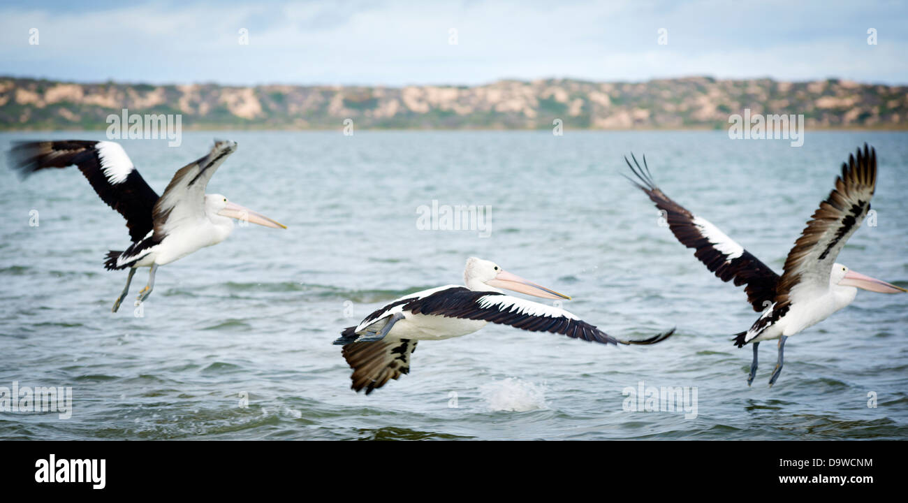 Pelicans in the wild along the Coorong area of South Australia - Stock Image