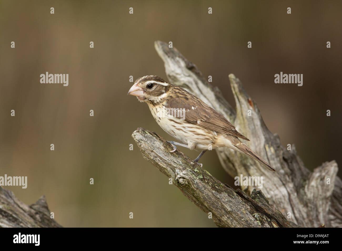 Female rose-breasted grosbeak - Stock Image