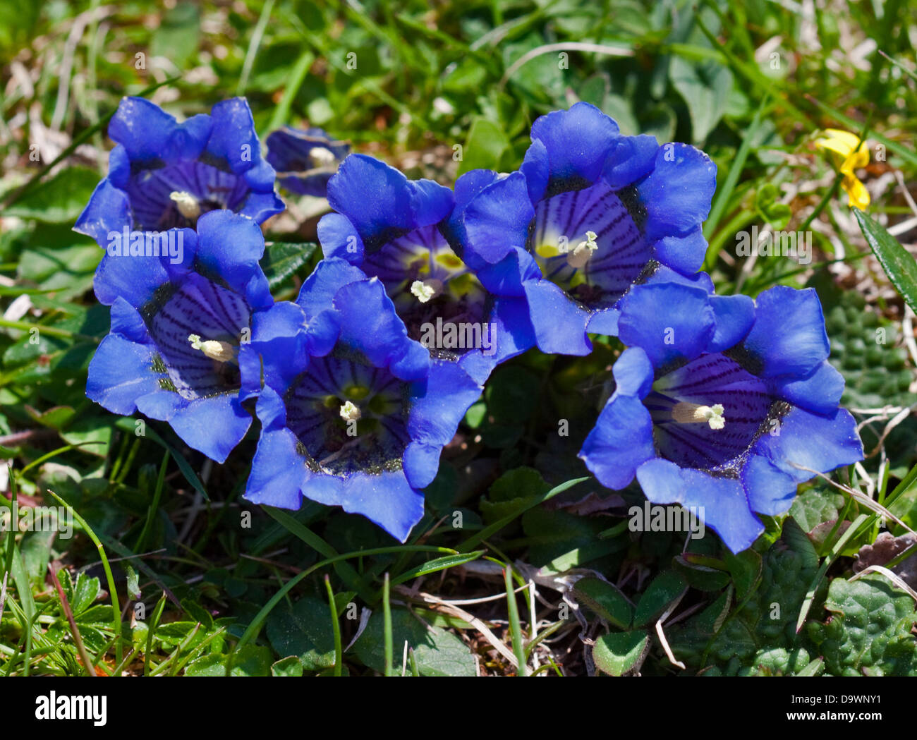 Trumpet Gentian (gentiana clusii) growing wild in the Adamello National Park, Alps, Italy - Stock Image