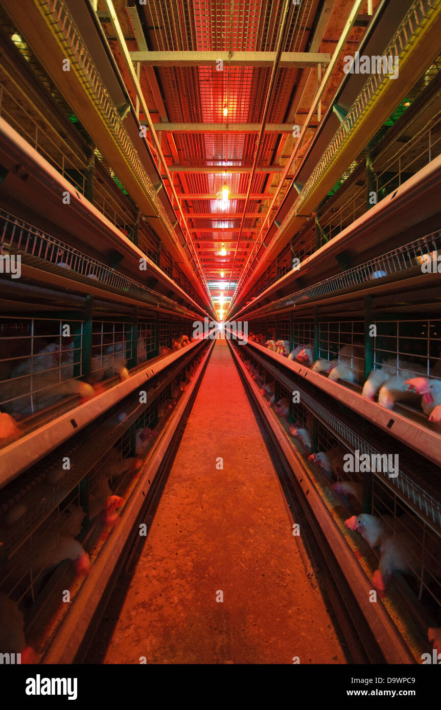 Battery Farming Hens in batteries - Stock Image