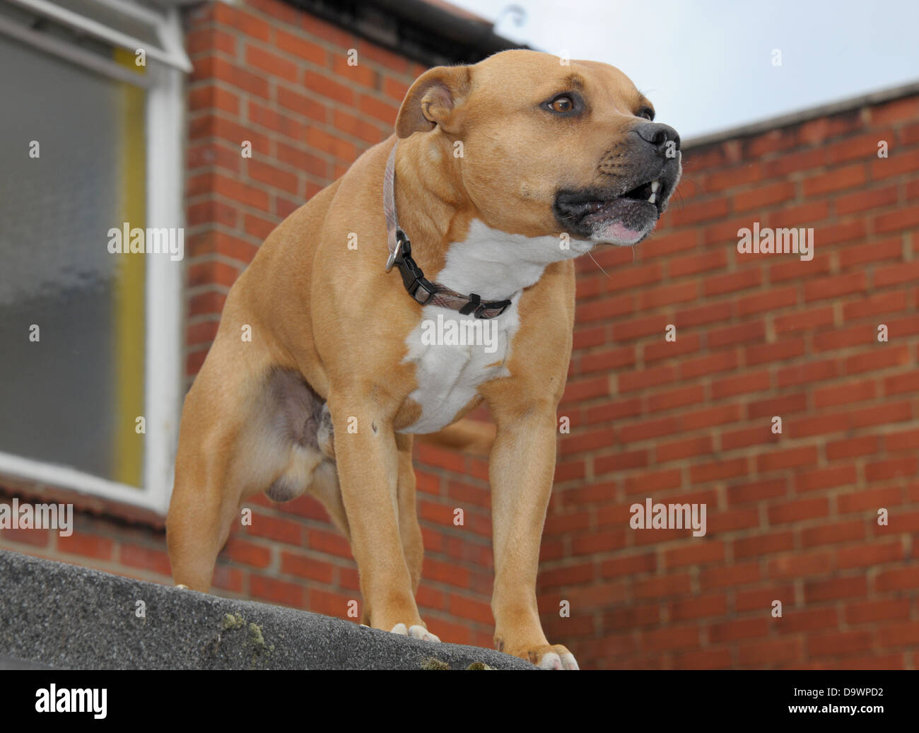 A Staffordshire Bull Terrier defends his urban territory. - Stock Image