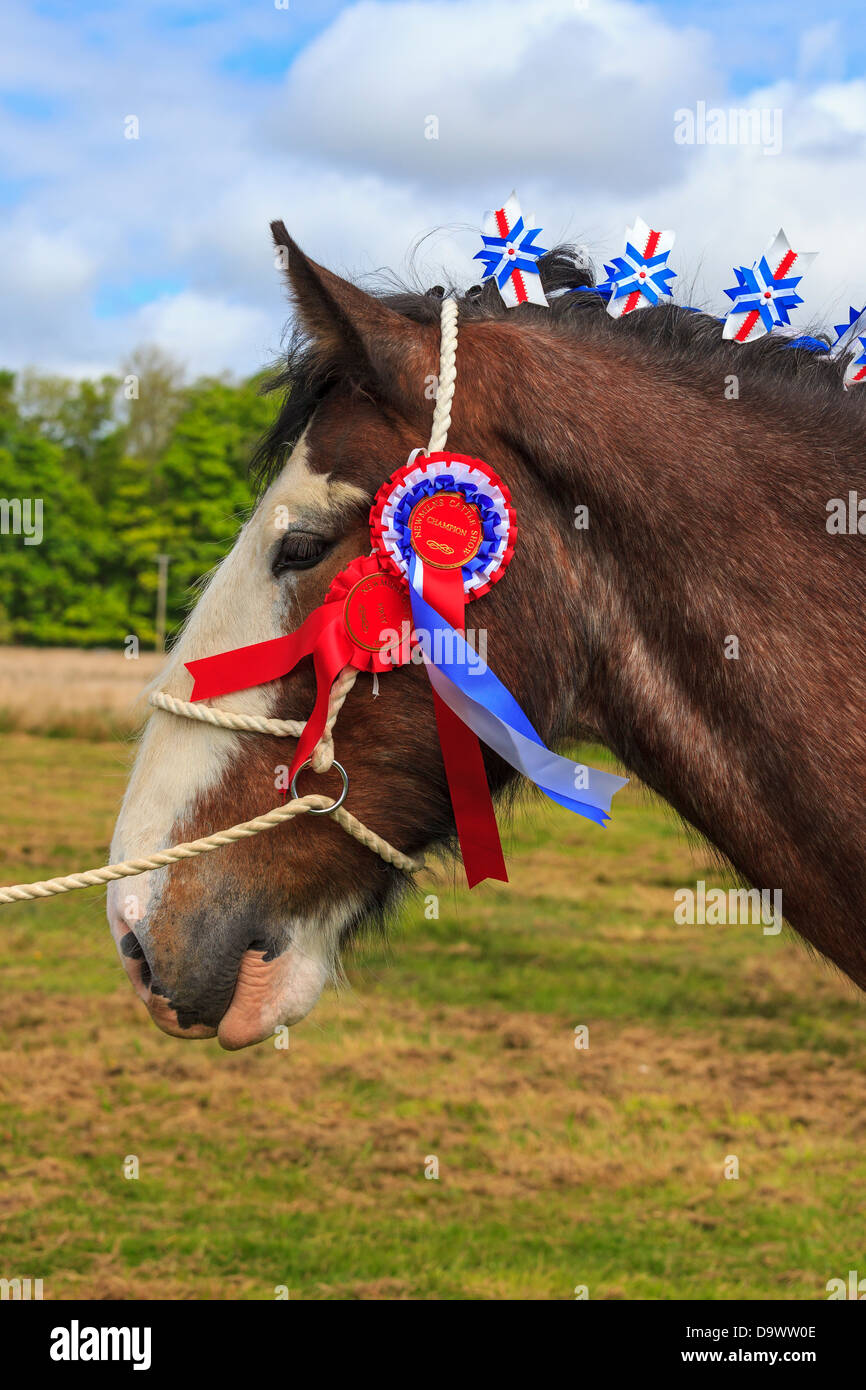 Portrait of a Clydesdale horse, stallion, that has won competitions at a country fair, Scotland, UK - Stock Image
