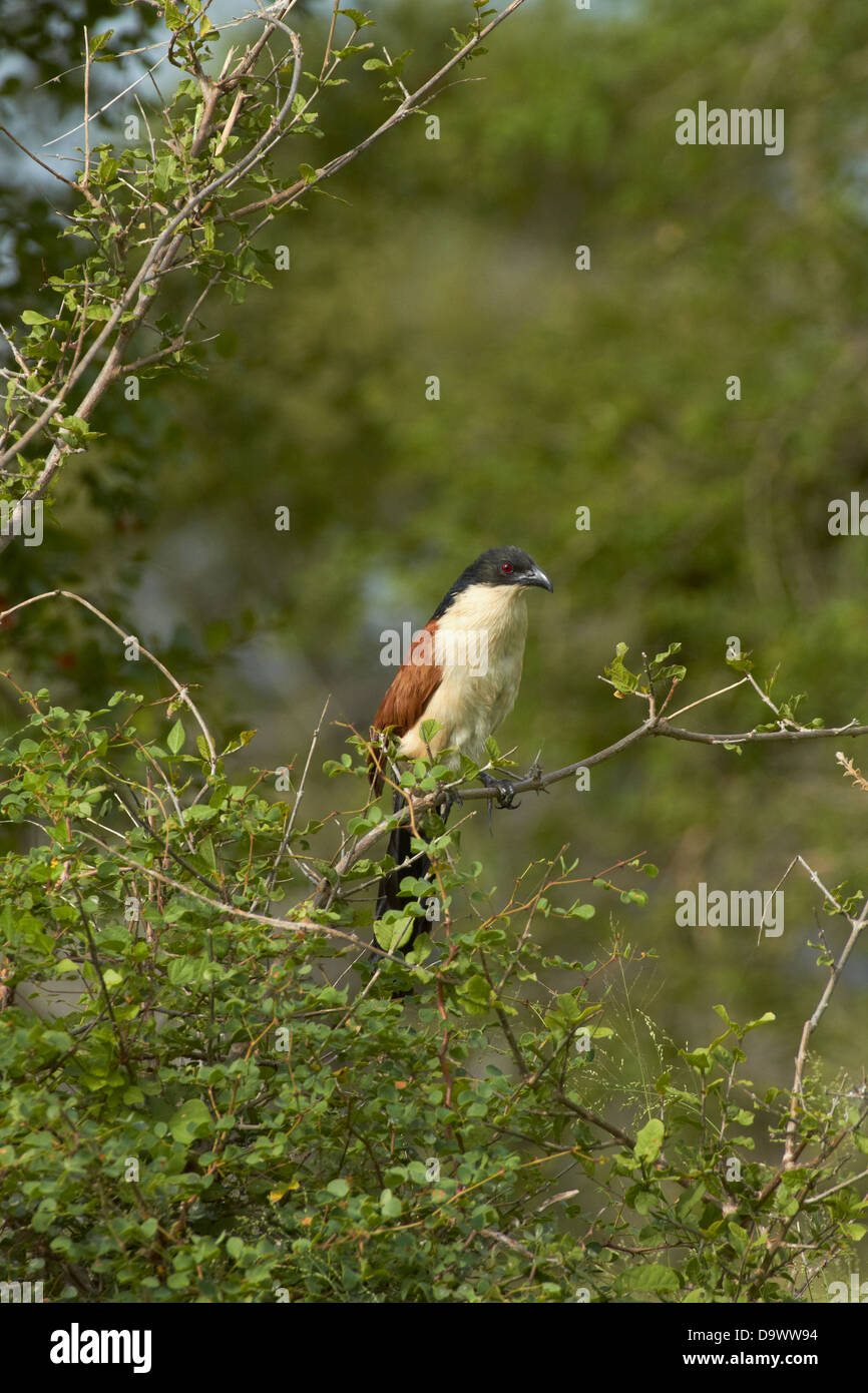 Burchell's Coucal (Centropus superciliosus burchelli or Centropus burchelli), Kruger National Park, South Africa - Stock Image