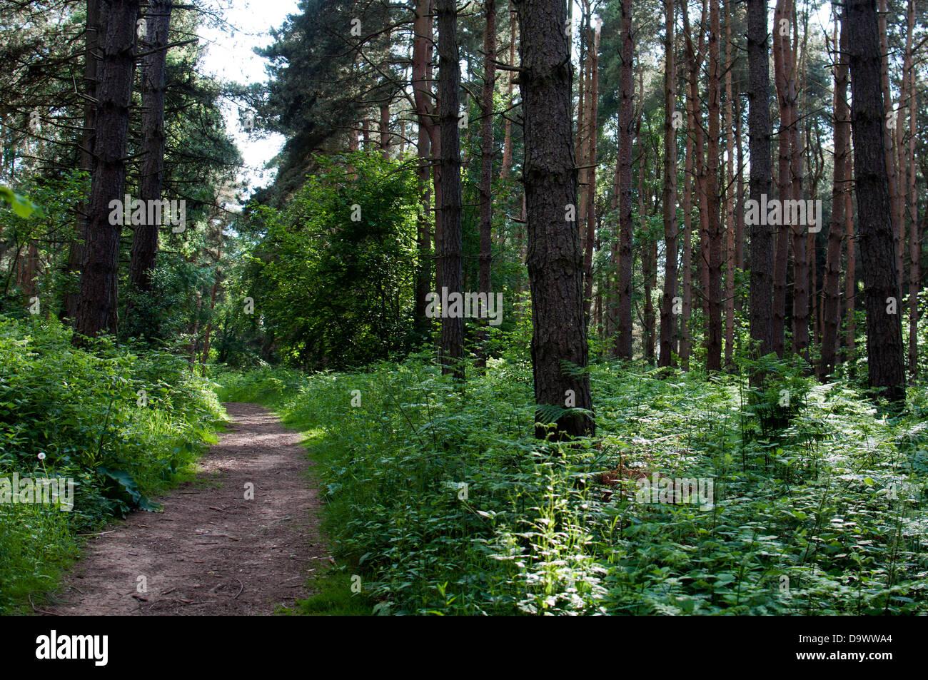 Oversley Wood, Warwickshire, UK - Stock Image