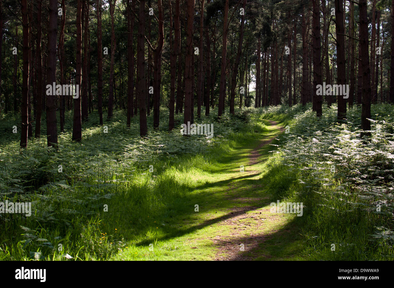 Oversley Wood, Warwickshire, UK - Stock Image