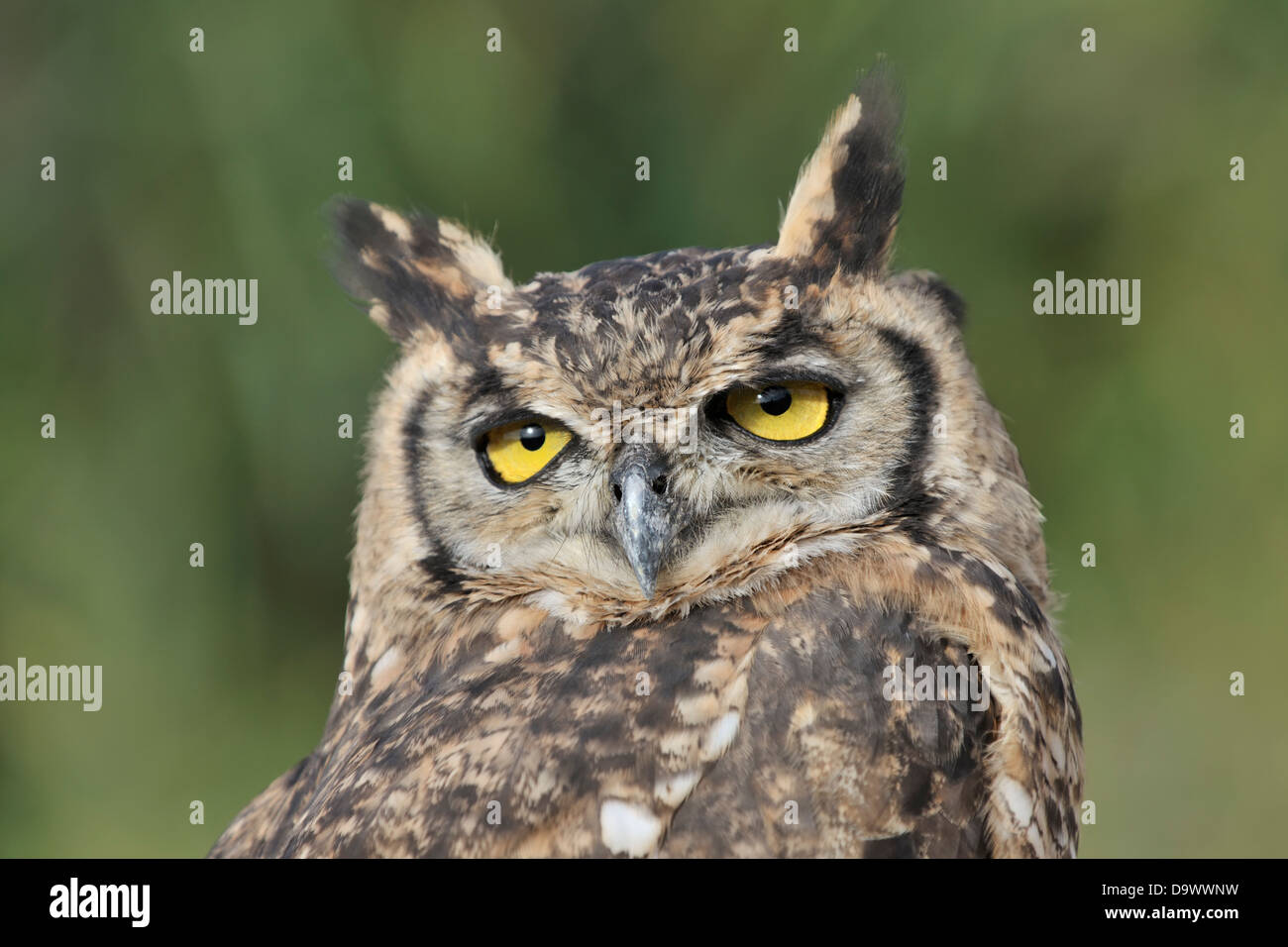 Portrait of an Eurasian Eagle Owl (Bubo bubo) close up, looking at camera. - Stock Image