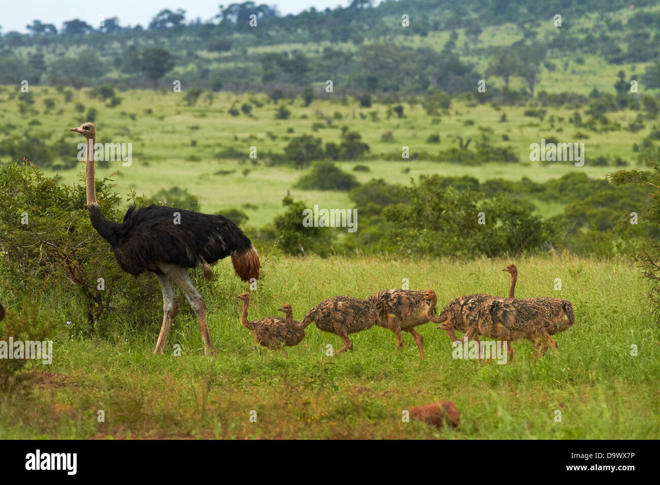 Ostrich (Struthio camelus) and chicks, Kruger National Park, South Africa - Stock Image