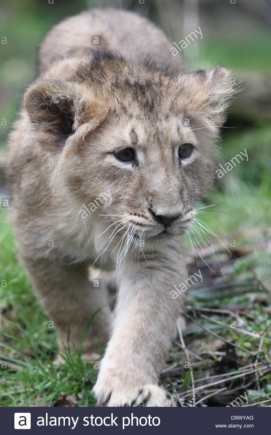 A Lion cub at Bristol Zoo, England, UK. - Stock Image