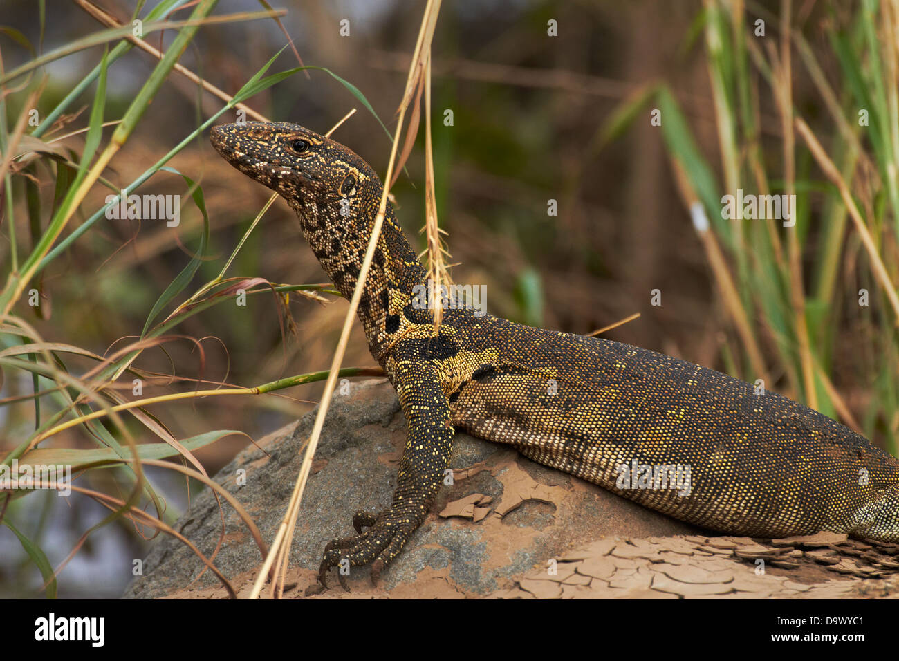 Nile monitor (Varanus niloticus), also called water leguaan, Kruger National Park, South Africa - Stock Image