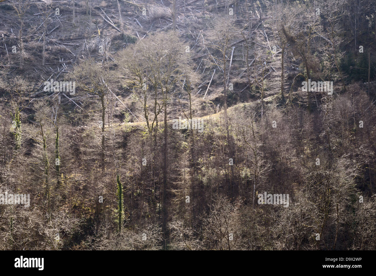 Land cleared as fell to waste, restoring conifer forest to Semi Natural woodland with regenerating land below, Spring, - Stock Image