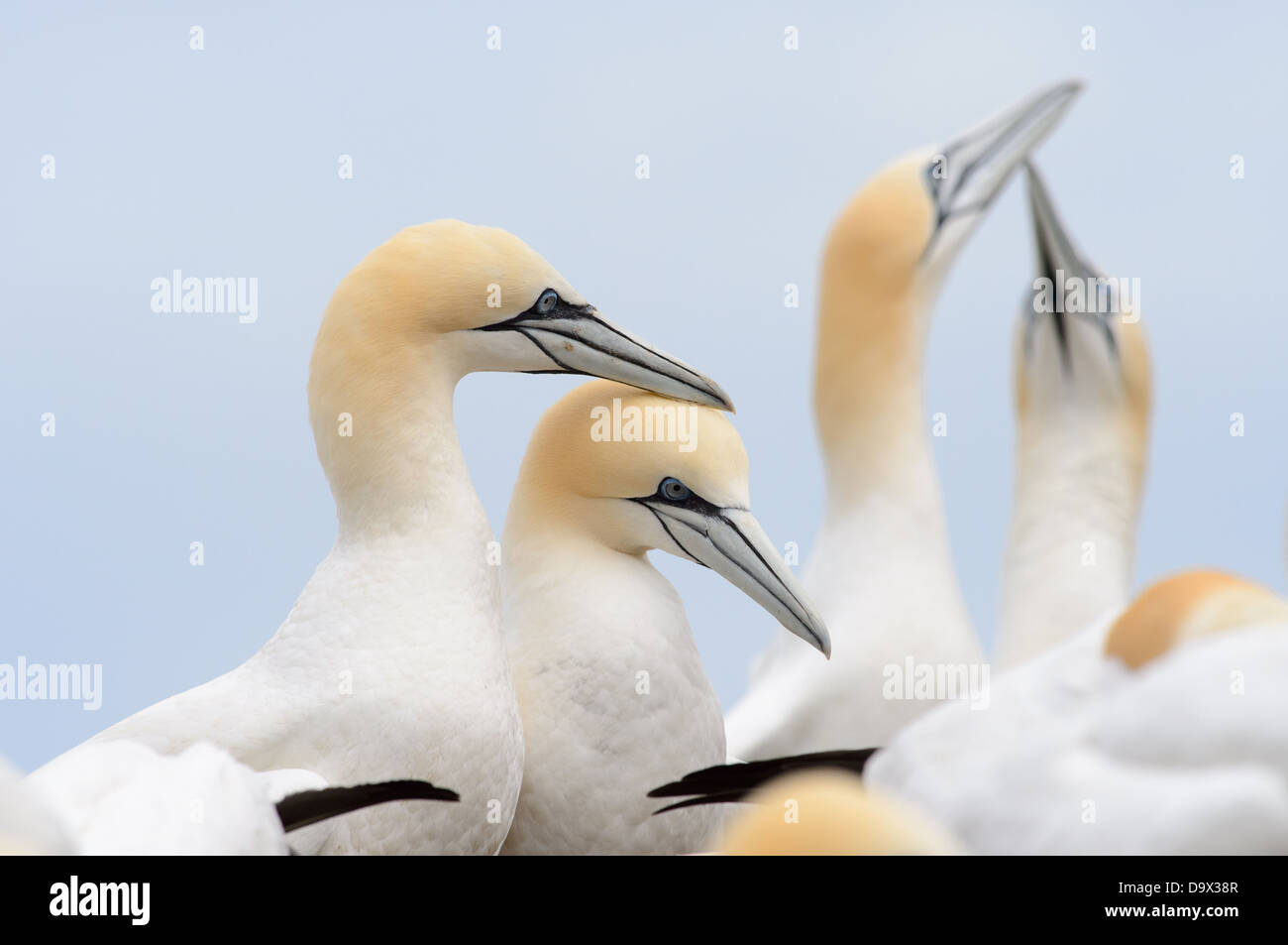 Displaying couple of Northern Gannets - Stock Image