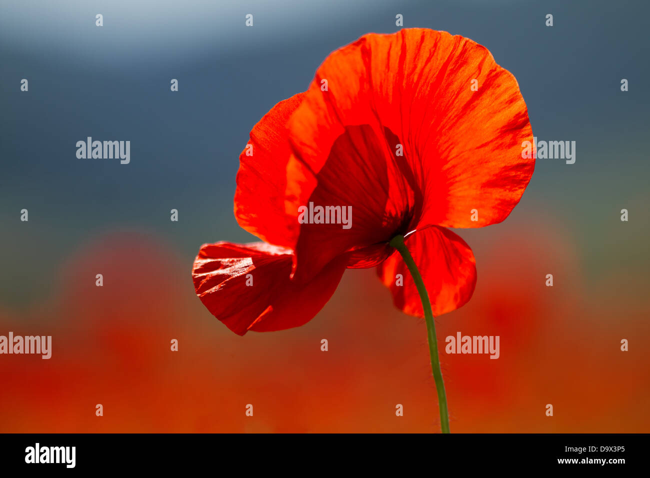 Red poppies on spring meadow, - Stock Image