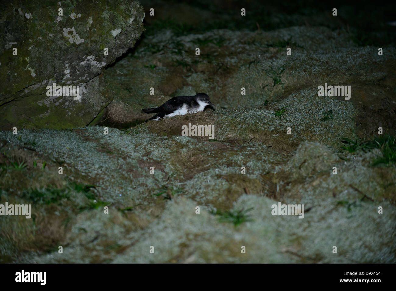 Manx Shearwaters arrive on land during dark nights on Skomer Island, Wales - Stock Image