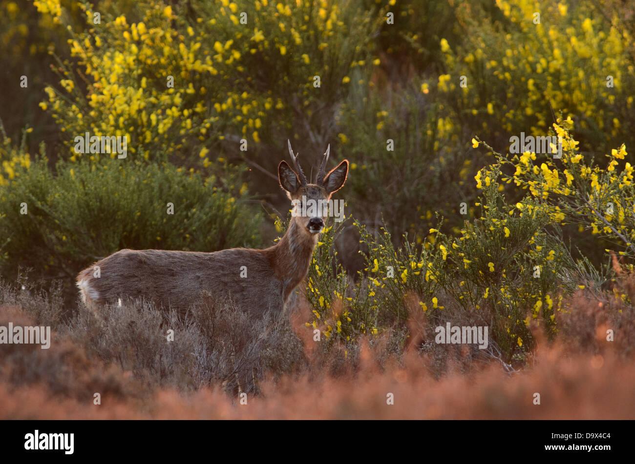 Male Roe Deer between the yellow flowers of Broom Stock Photo
