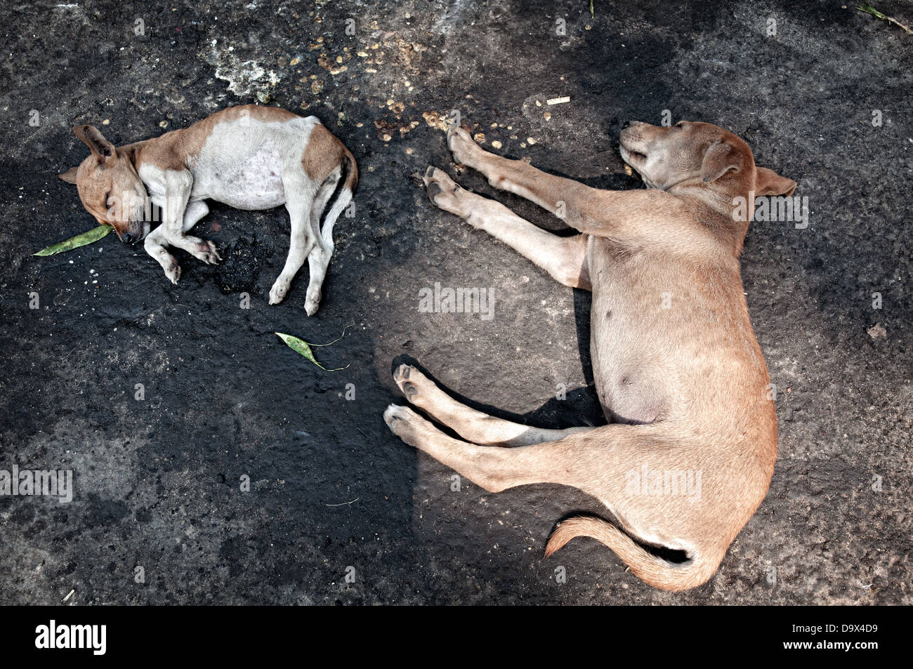 Dogs sleeping on the ground around Kalighat temple. Calcutta, West Bengal, India - Stock Image