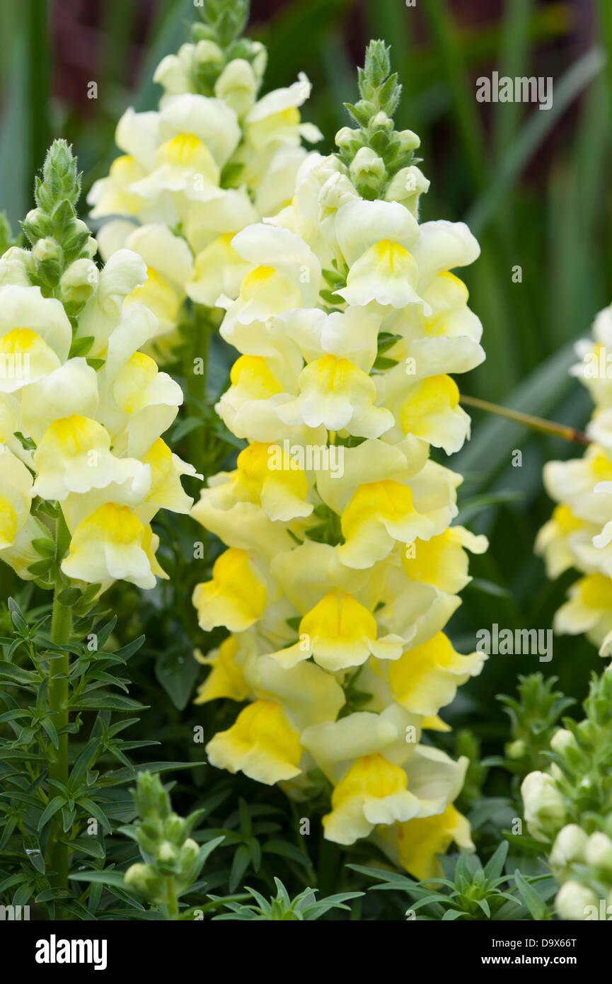 antirrhinum yellow snapdragon Stock Photo
