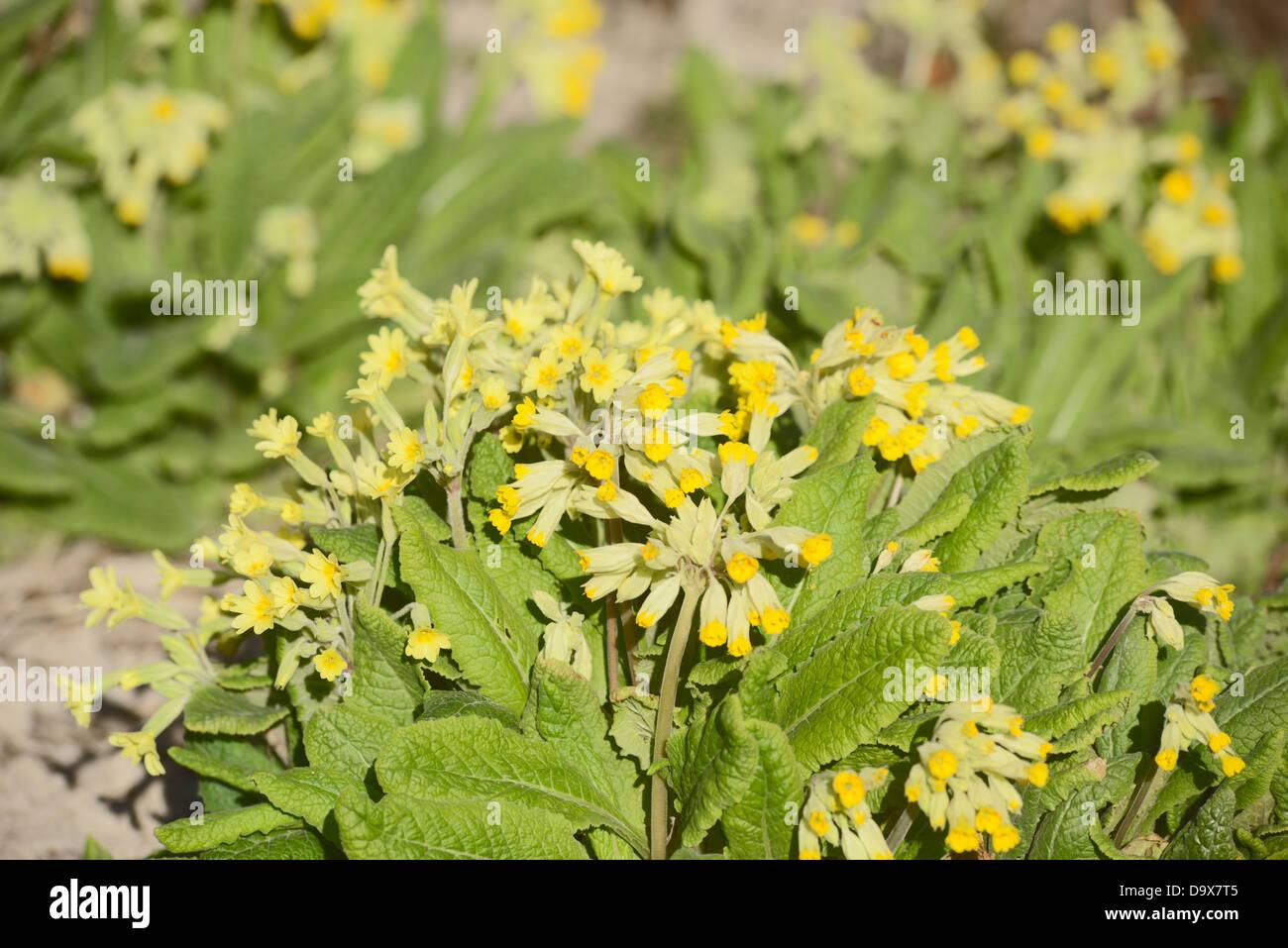 Primula veris, Cowslip flowers, Wales, UK. Stock Photo