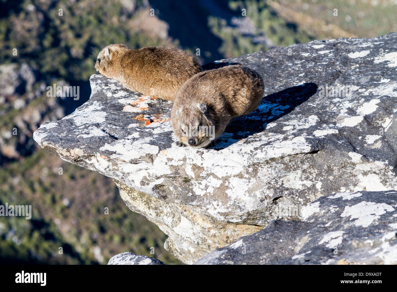 Dassie on Table Mountain, Cape Town - Stock Image