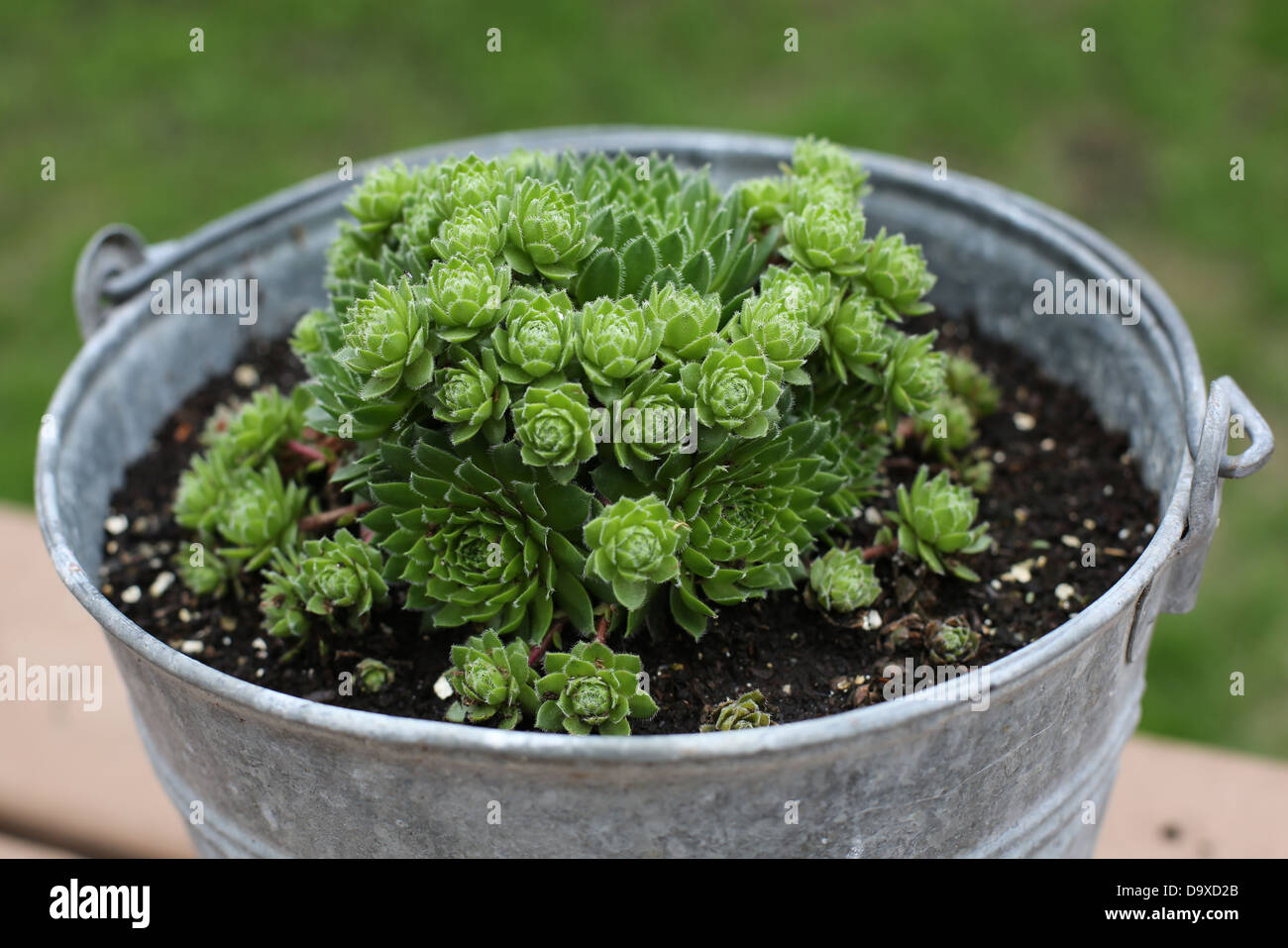 A bucket filled with hens and chicks plant. - Stock Image