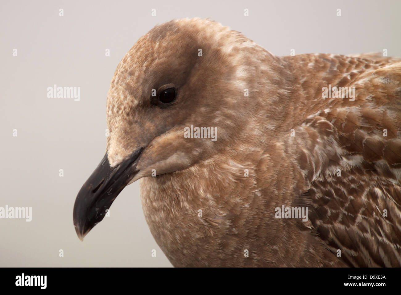 A Western Gull, in 1st year plumage, looking down in the fog. - Stock Image