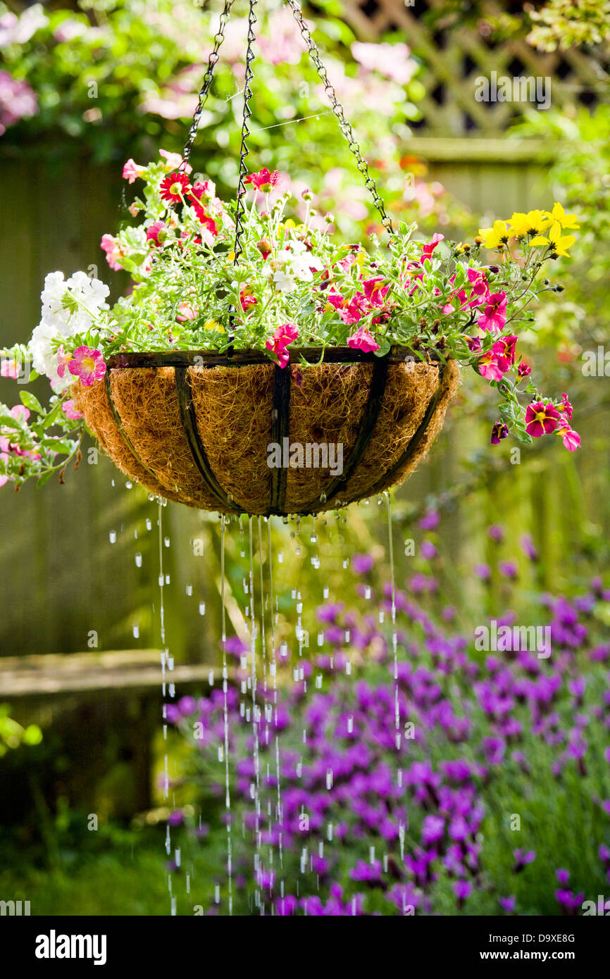 Hanging flower basket getting watered Stock Photo