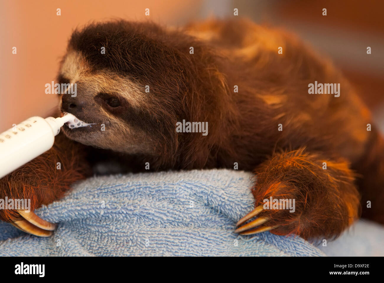 Baby orphaned Brown-throated Three-toed Sloth (Bradypus variegatus) drinking milk through a syringe in Sloth Sanctuary - Stock Image