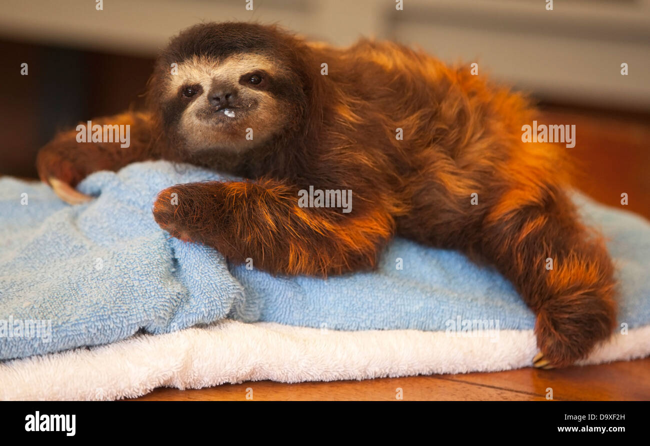 Baby Brown-throated Three-toed Sloth (Bradypus variegatus) with milk on face after being fed at the Sloth Sanctuary Stock Photo