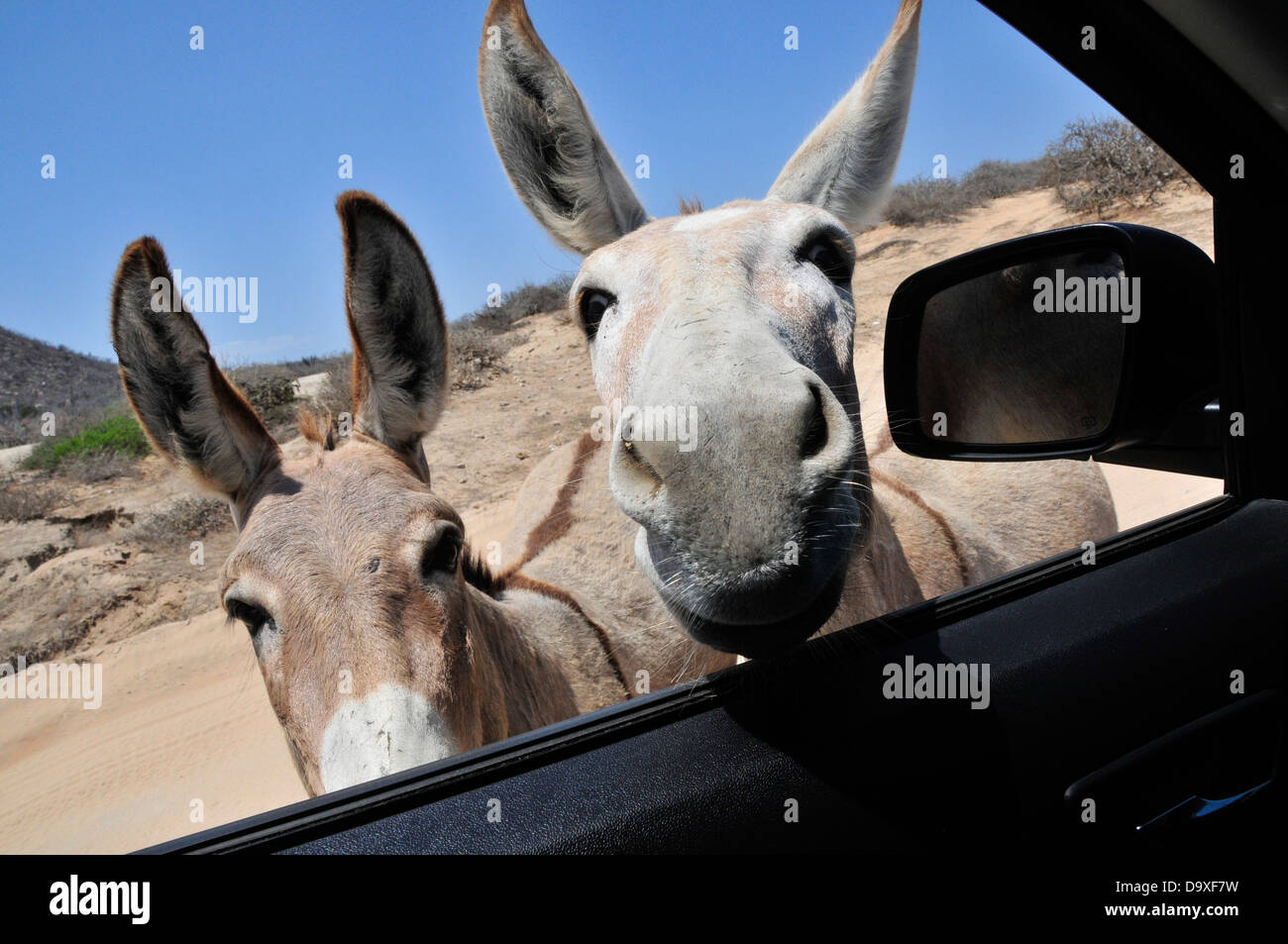 Couple of donkeys pay a surprise visit through a car window in the desert of Baja California. Stock Photo