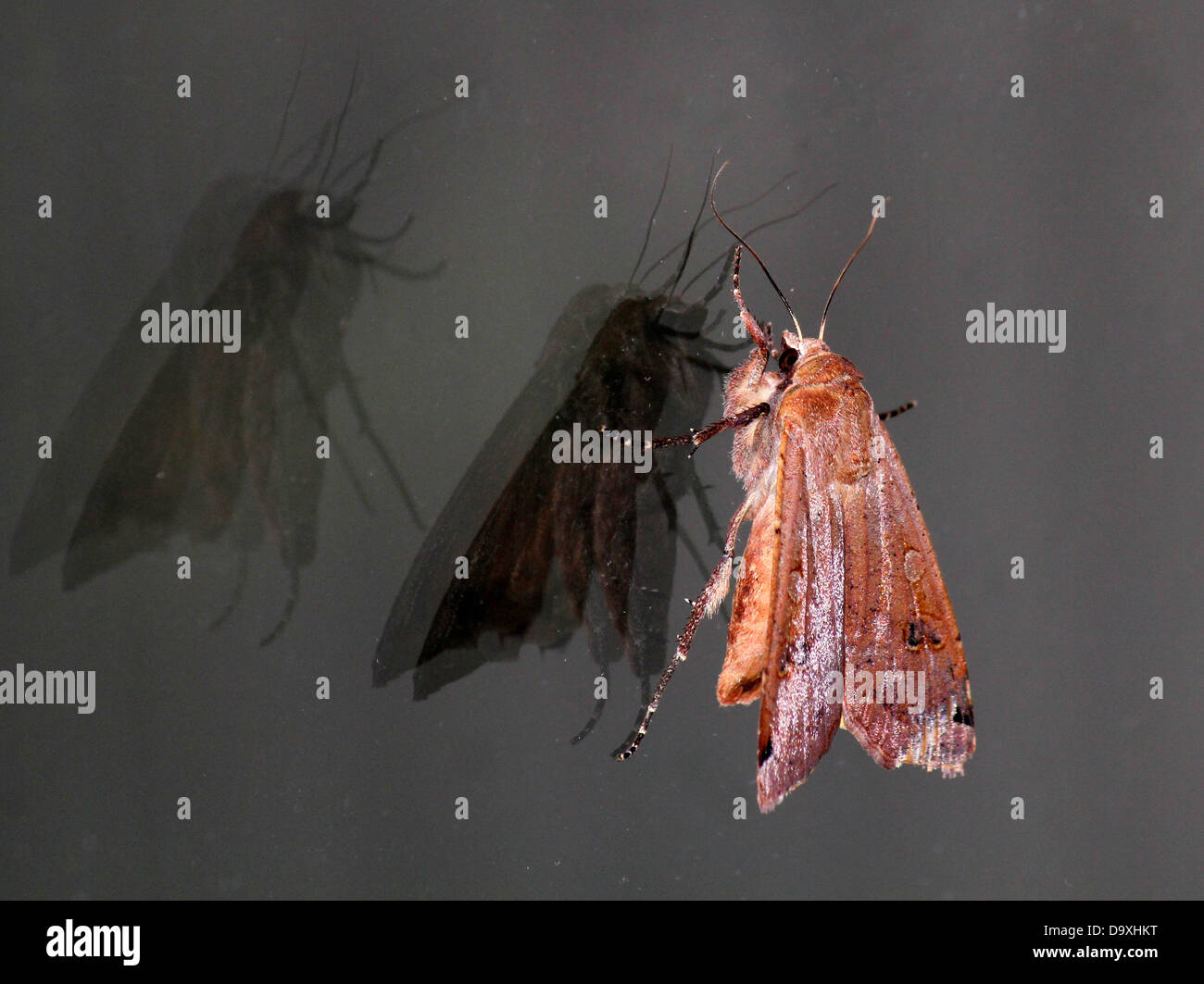Large Yellow Underwing (Noctua pronuba) moth with wings  partly opened and reflections and shadows on a window pane - Stock Image