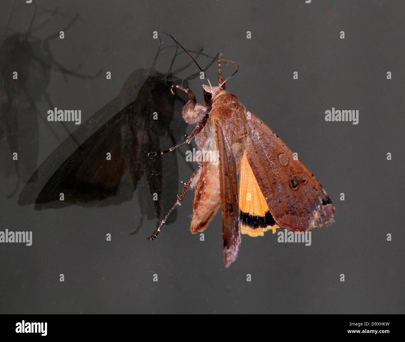 Large Yellow Underwing (Noctua pronuba) moth with wings half-opened and reflections and shadows on a window pane - Stock Image