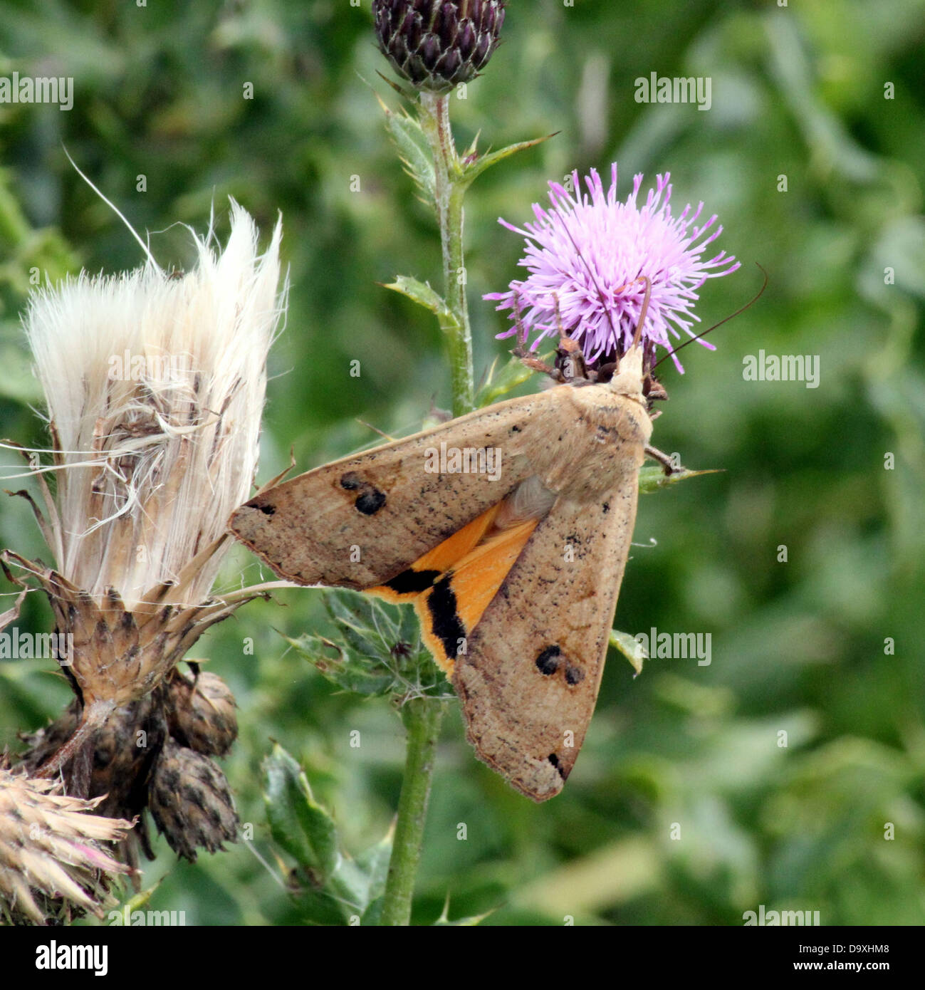 Large Yellow Underwing (Noctua pronuba) moth foraging on a purple thistle flower - Stock Image