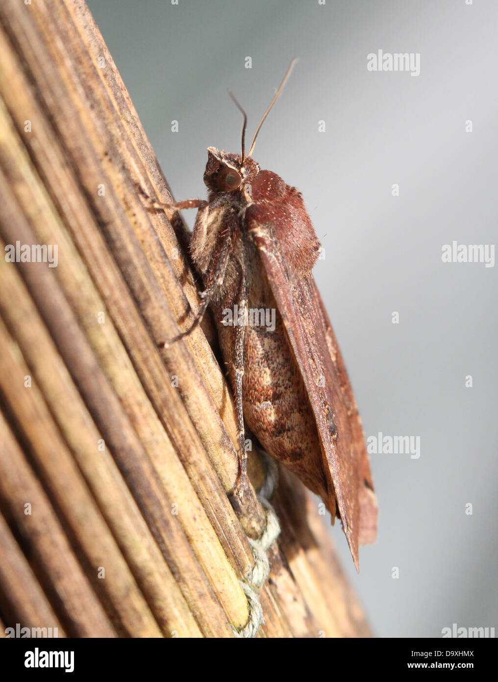 Large Yellow Underwing (Noctua pronuba) moth seen from the side - Stock Image