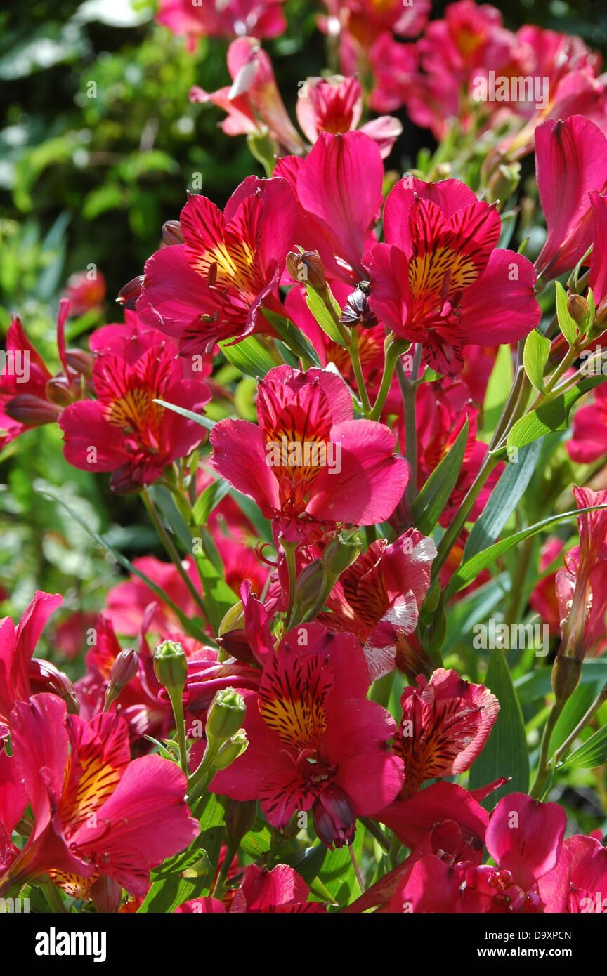 Hardy Perennial Alstroemeria Tessay with cerise flowers - Stock Image