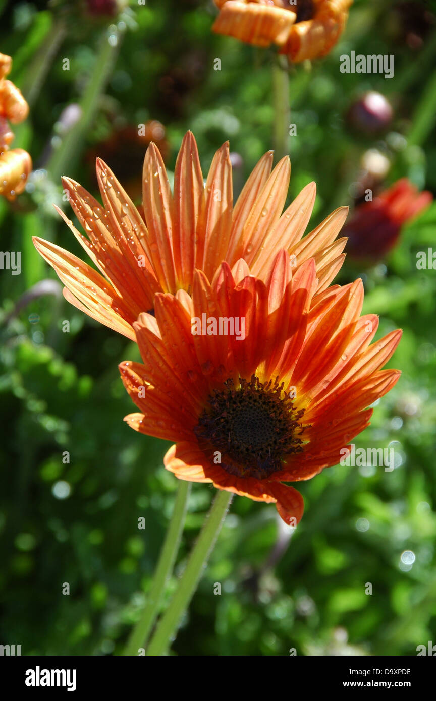 Cape Daisy - Arctotis x hybrida Flame. Tender perennial with bright colours for summer bedding scheme - Stock Image