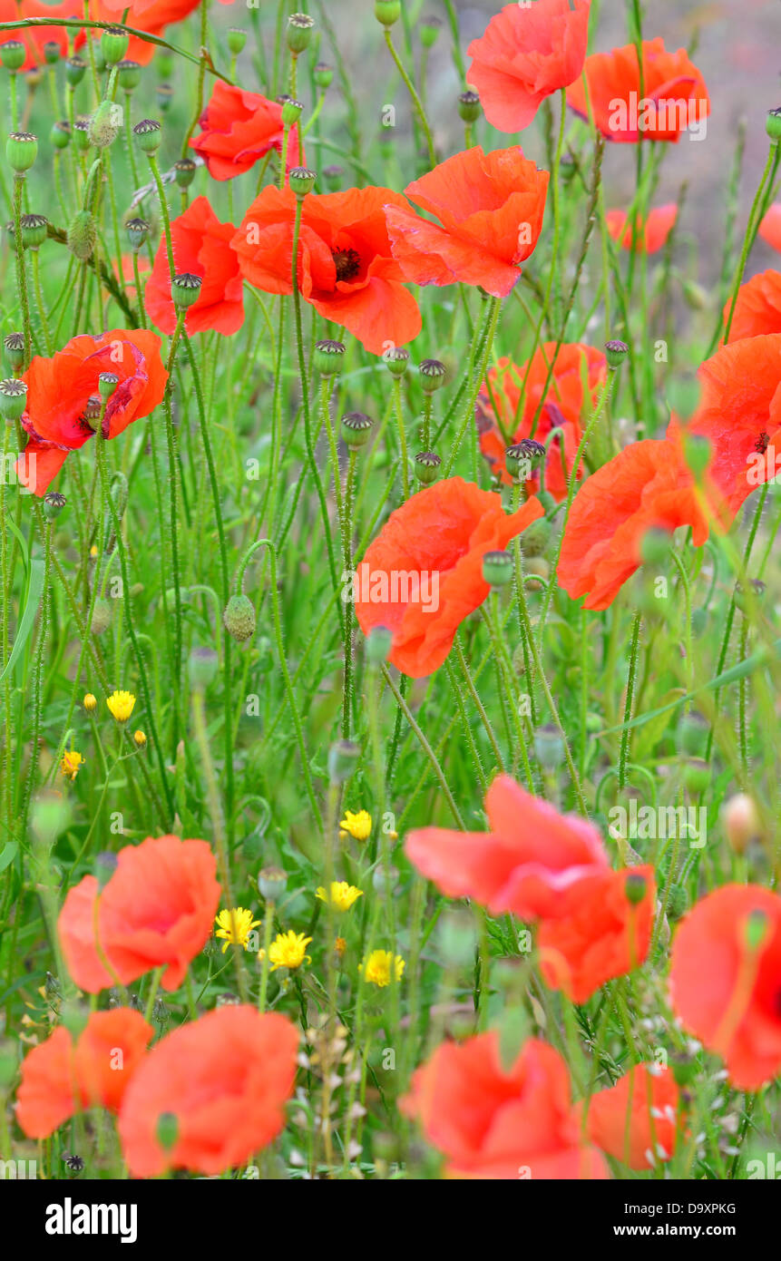 Field with red poppies detail Stock Photo