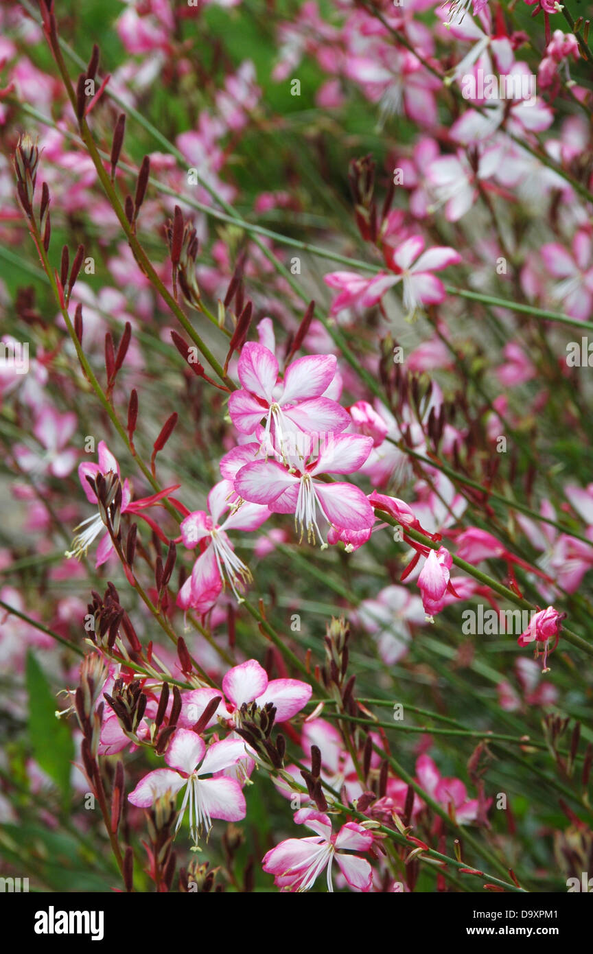Pink and white flowers of herbaceous perennial Gaura linheimeri Rosy Jane. - Stock Image