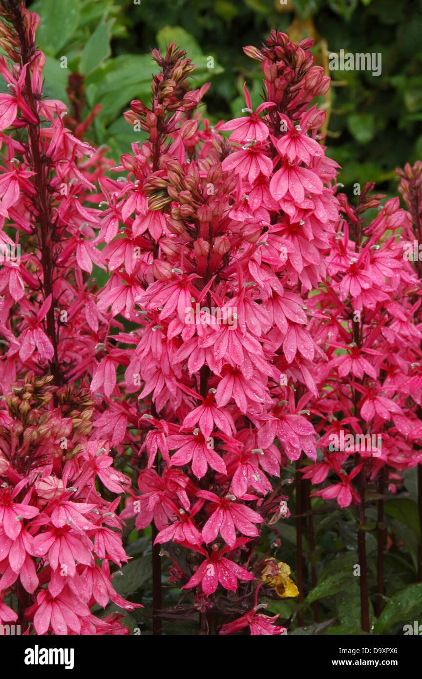 Lobelia speciosa Fan Lachs - - Stock Image