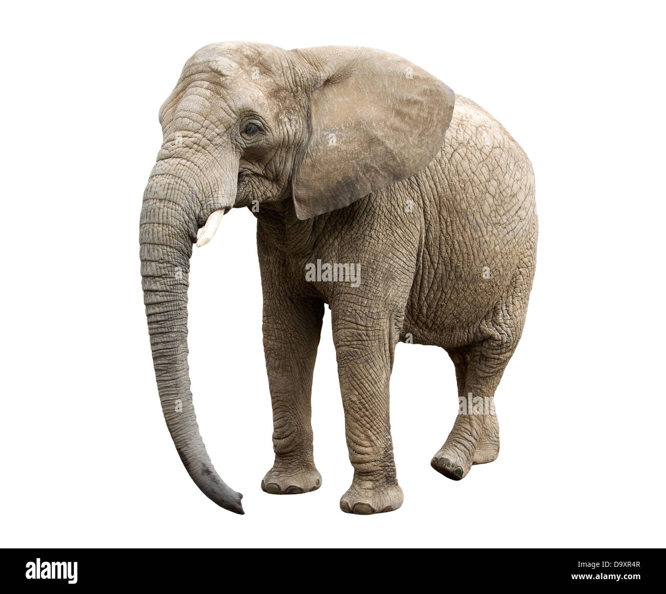 African elephant with clipping path - Stock Image