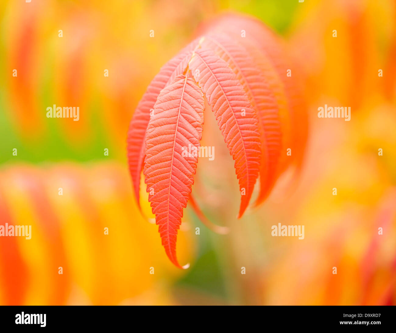 A close-up of the leaves of the stag's horn sumac. - Stock Image