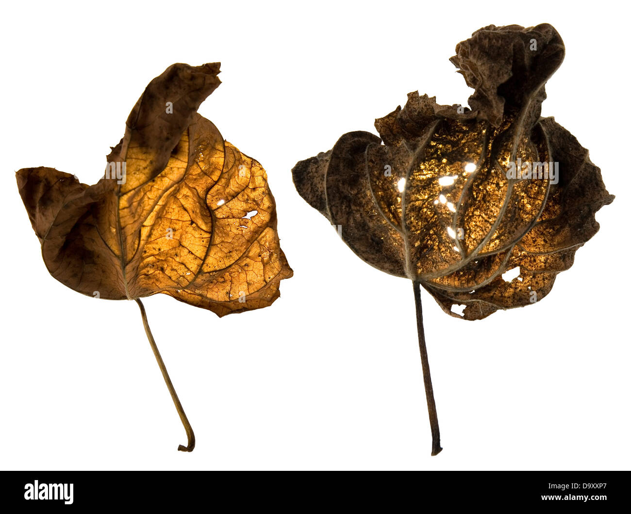Dead leaves illuminated from behind - Stock Image