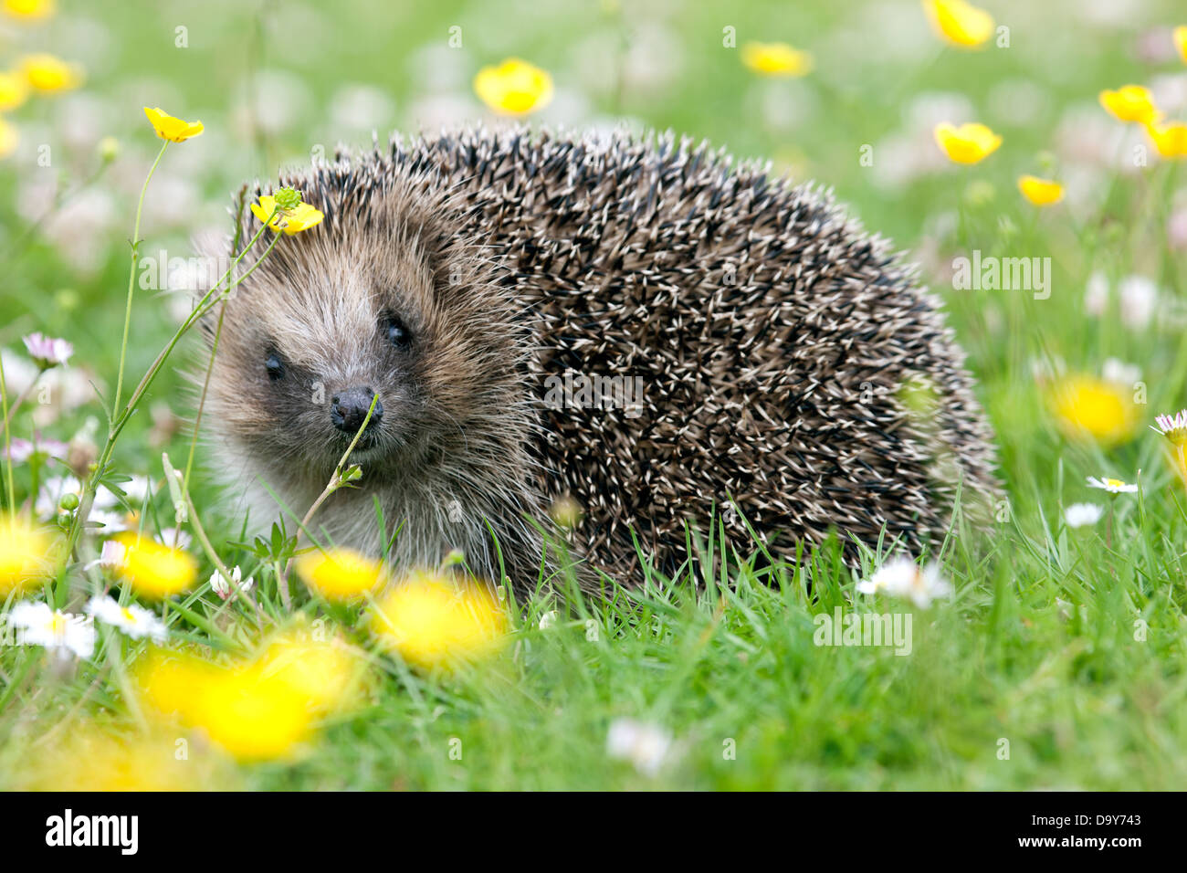 Wild hedgehog (Erinaceus europaeus) – an increasingly uncommon sight – in a British garden. Numbers are in serious - Stock Image