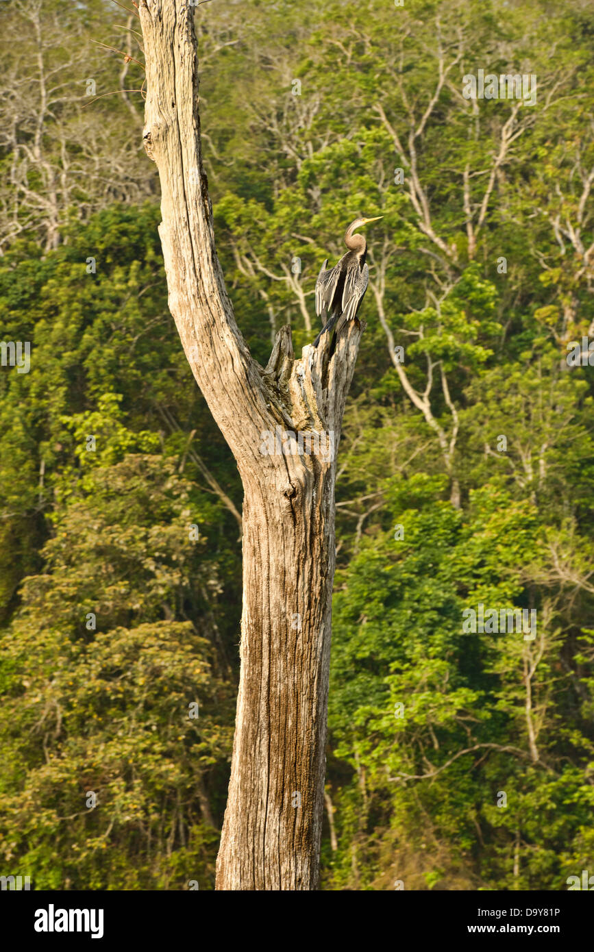 Oriental Darter or Snakebird (Anhinga melanogaster) in the Periyar Tiger Reserve in Kerala, India - Stock Image