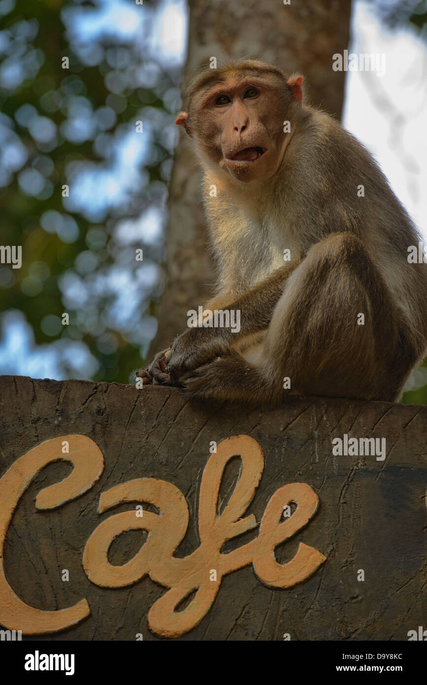 monkey business at the Periyar Tiger Reserve in Kerala, India - Stock Image