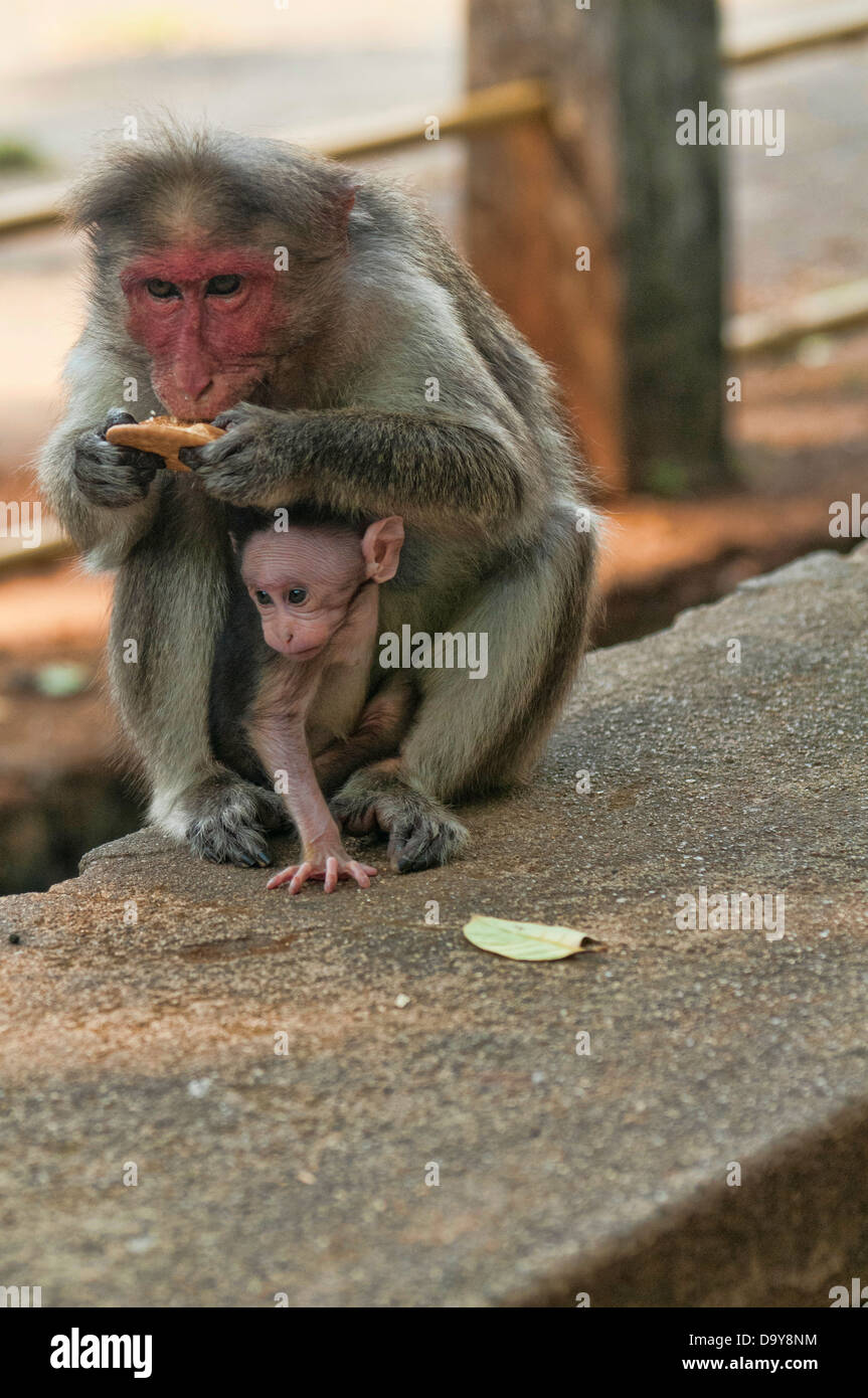 monkey business at the Periyar Tiger Reserve in Kerala, India Stock Photo