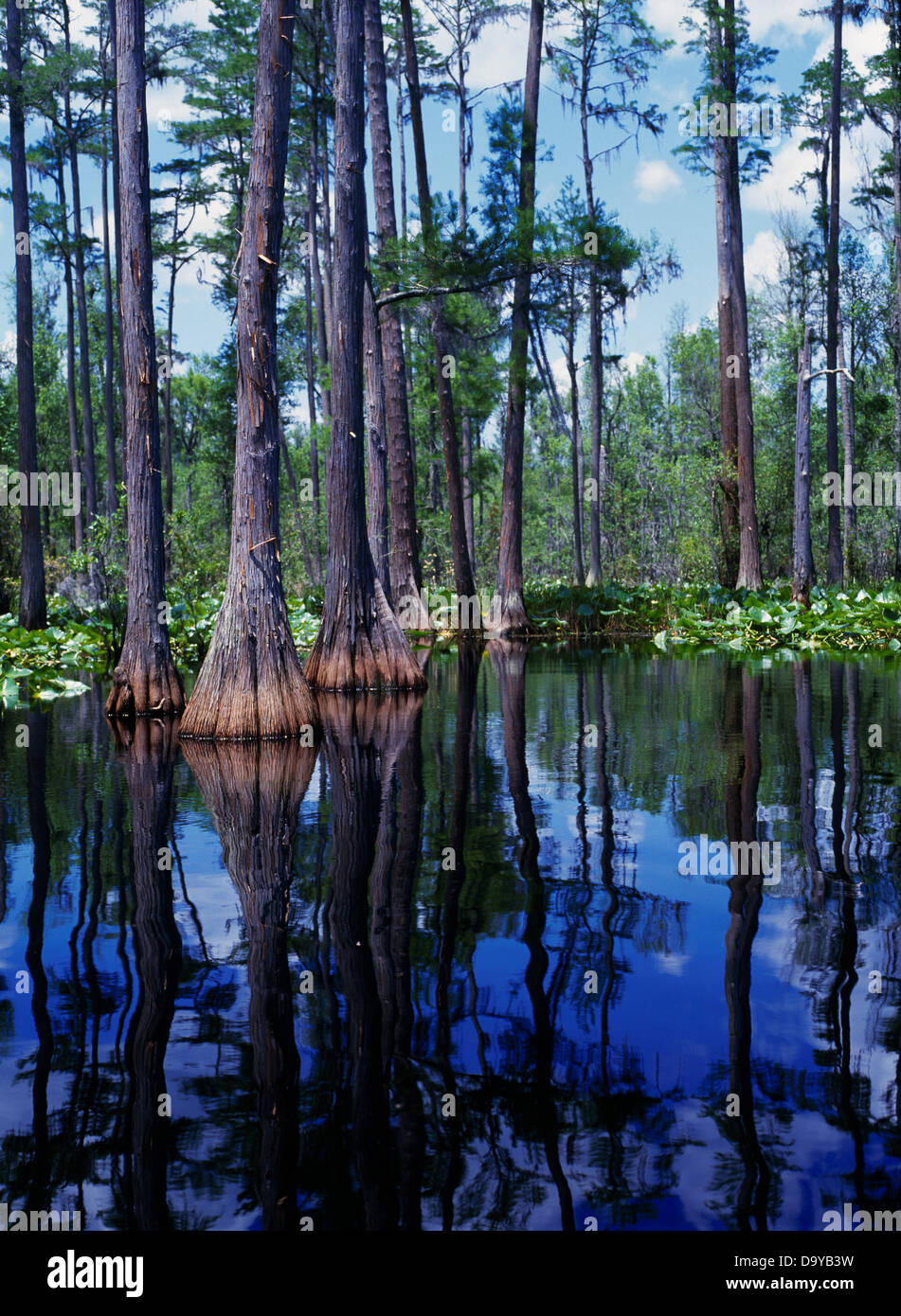 Pond Cypress and waterlilies along the Suwannee River, Okefenokee National Wildlife Refuge, Georgia. - Stock Image