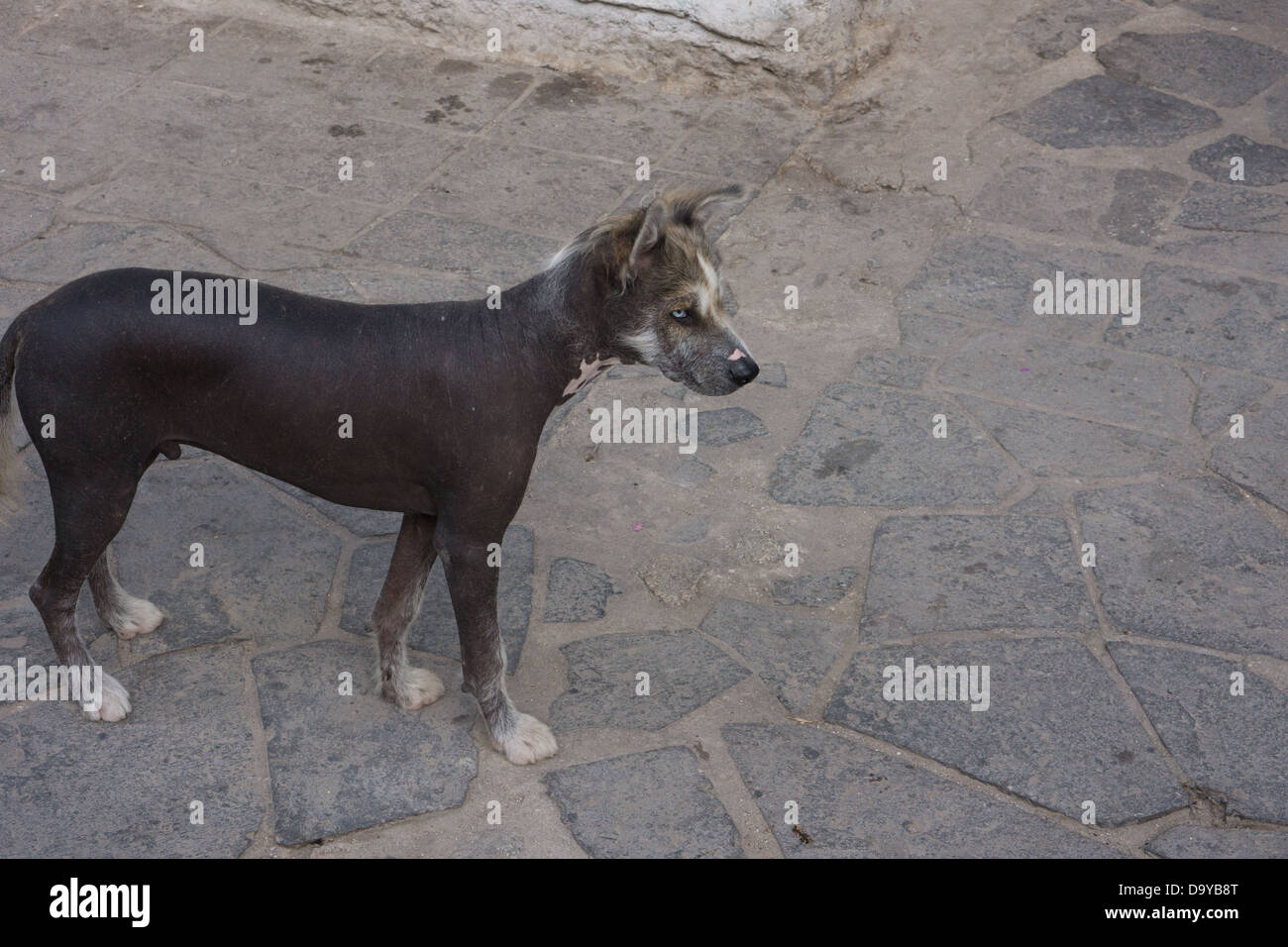 Peruvian hairless dog, dog, - Stock Image